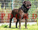 BANDOG MACHO