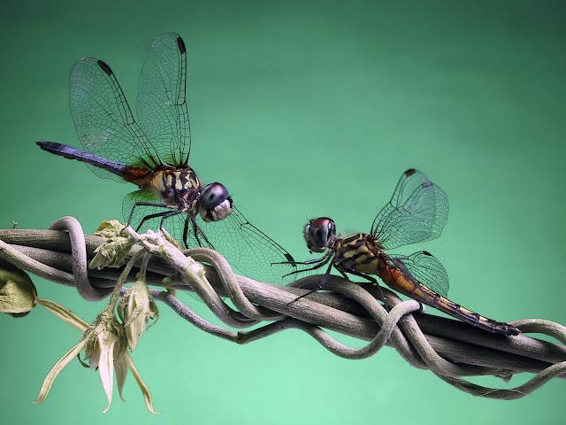 Best Jungle Life dragonflies photos, dragonflies, dragonflies wallpapers