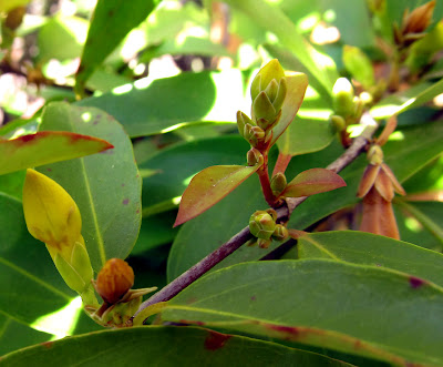 Annieinaustin, buds of carolina jessamine