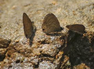 Common Lineblue (Prosotas nora)