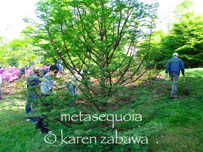 Dawn redwood metasequoia greening up in late Spring, BRG east garden, Port Credit, Ontario.
