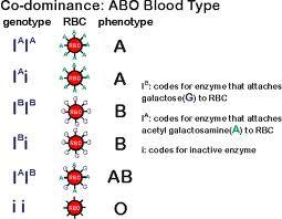 biology vocabulary terms multiple alleles system. Black Bedroom Furniture Sets. Home Design Ideas