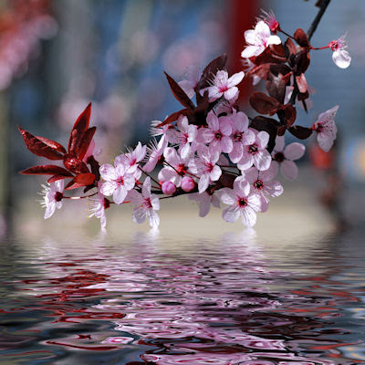 Flores de cerezo que se reflejan en el río - Decorative cherry tree blossoms above water with reflection digital effect