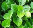 Khasiat daun sirih obati sakit pinggang