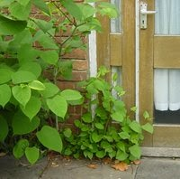 Japanese Knotweed growing through the pavement and up a wall