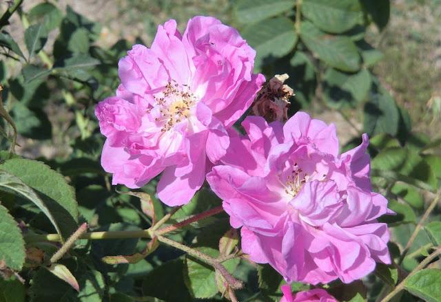 May rose rosa centifolia