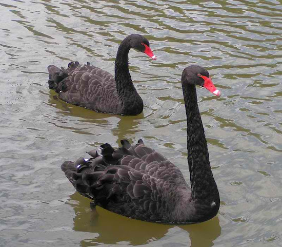 Fremantle City - black swan