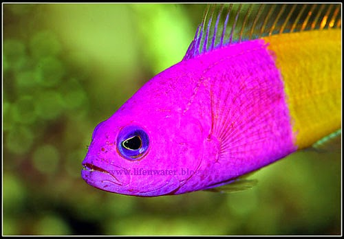 Bicolor Dottyback