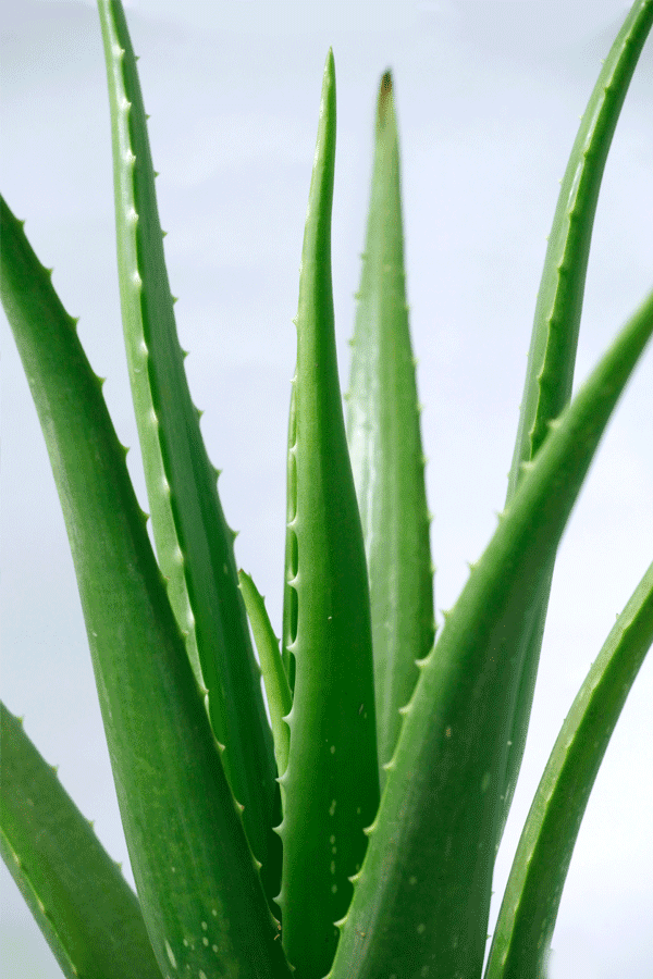 What39;s In Aloe Vera That Makes It So Special amp; Valuable? .