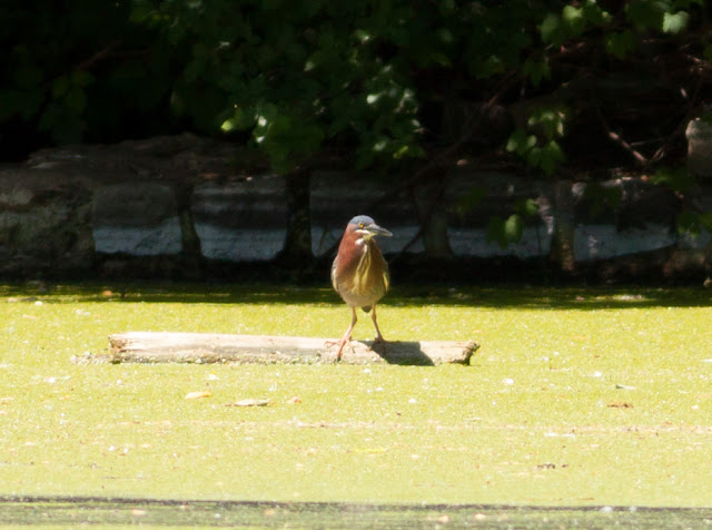 Green Heron - Prospect Park, New York