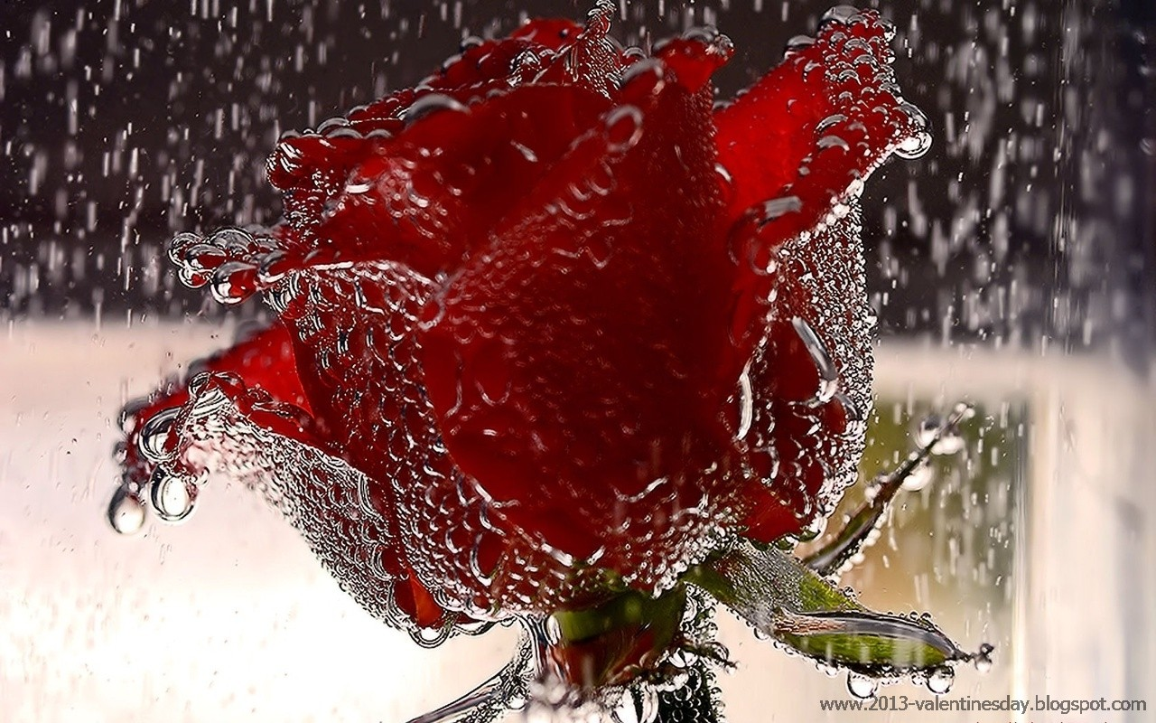 New latest happy rose day 2015 hd wallpapers