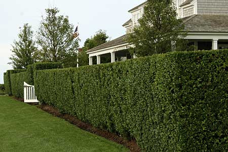 Gallery For Privacy Hedges Types