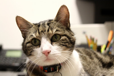 A head shot of Geoge the Cat, a grey tigger-stripe cat