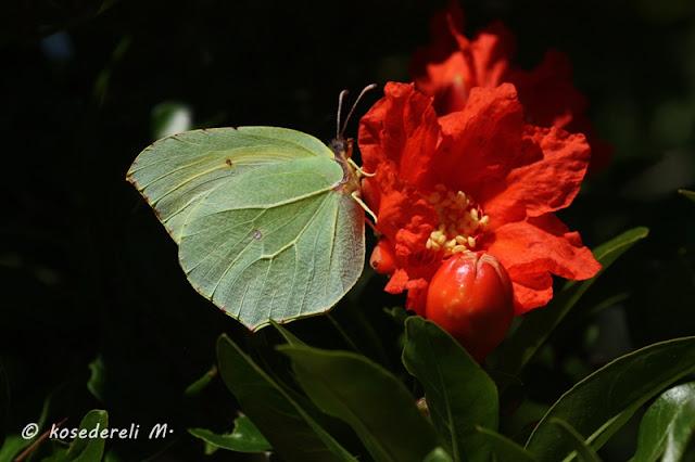 Kleopatra kelebeği kanat altı fotoğrafı