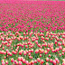 Colorful Tulips photos