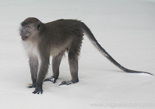 Macaco-dominante-Asia