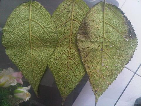 daun gatal obat tradisional pereda nyeri paninggih
