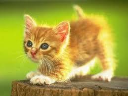 kucing kegemaran