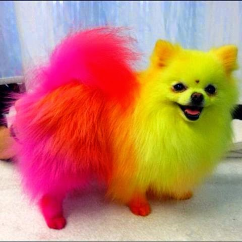 dog doggy styling competition hershey grand expo winner hair fur dying colouring
