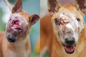 female mongrel wander in singapore abused has been put to sleep. Animal care in singapore. pet care centre in singapore. abused dog center