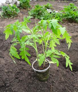 17.05. Часть рассады помидоров пробовал выращивать по два растения в одном стаканчике, и помидоры выросли неплохо.