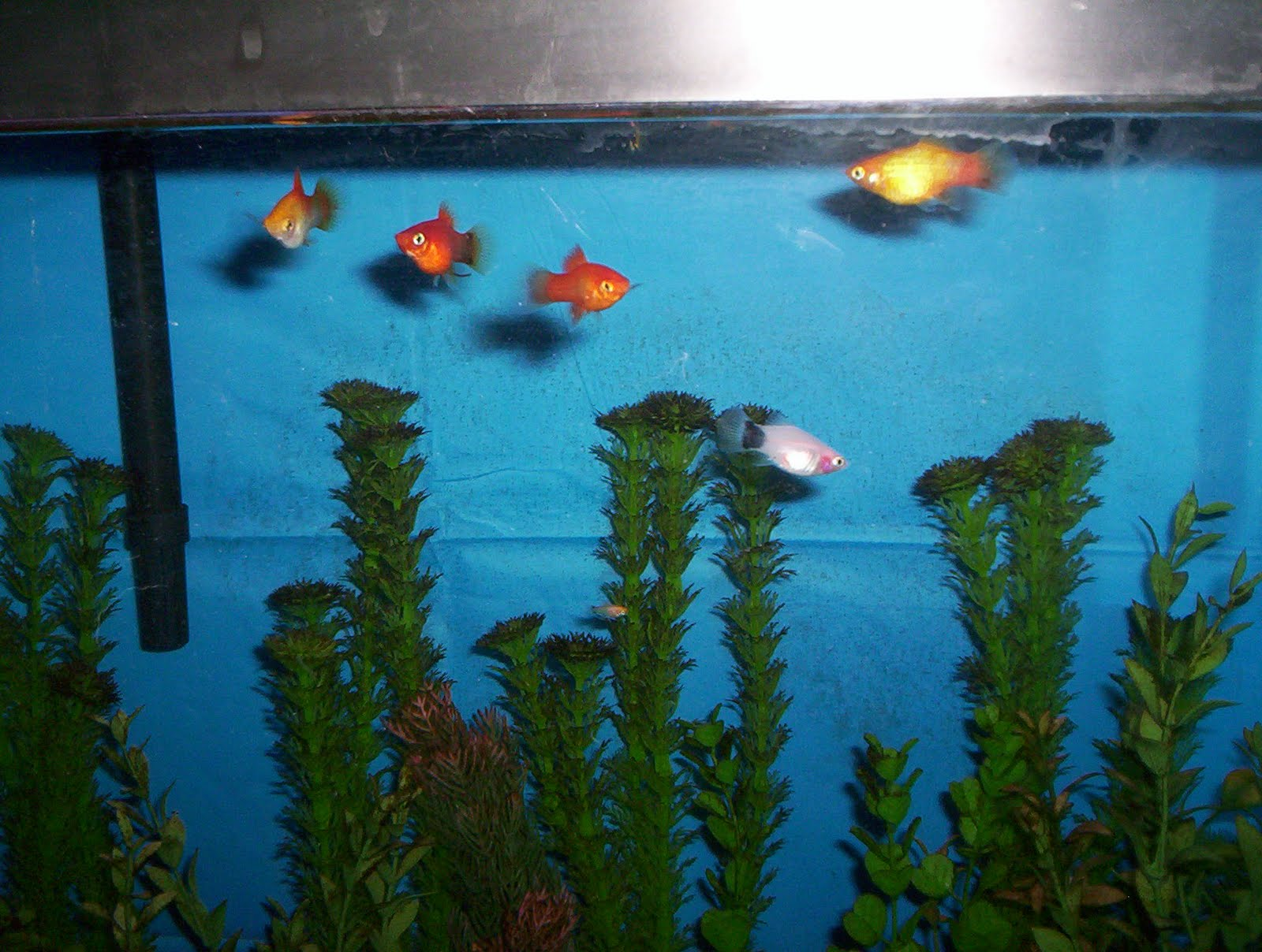 Fish in tank died - Now We Have 5 Store Bought Platies And One Homebred Well Mum Came Pregnant And One Of The Fry Survived L R Top Row Male Sunburst Micky Mouse