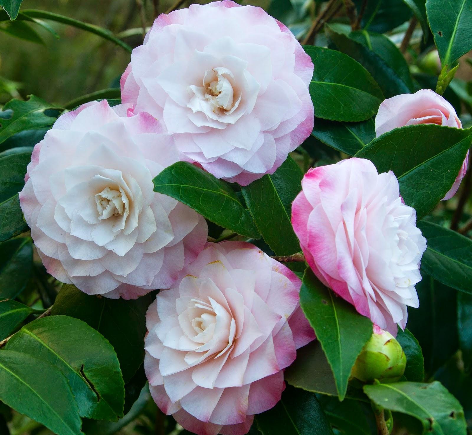 Picture of Live Nuccio's Pearl Camellia aka Camellia j. 'Nuccio's Pearl' Shrubs Plant Fit 5 Gallon Pot