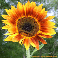 Beautiful Autumn Beauty Sunflower Blossom
