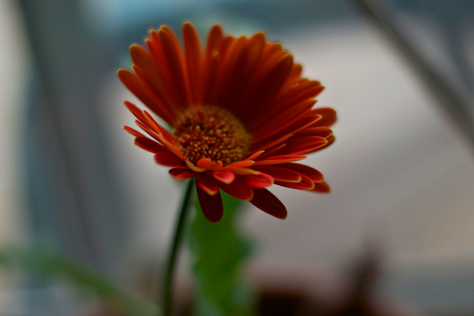 Red gerber daisy, a favor from a friends baby shower last year. It made it through the winter and is happily blooming!