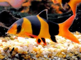 The king of fresh water botia loach fish for Tiger striped fish
