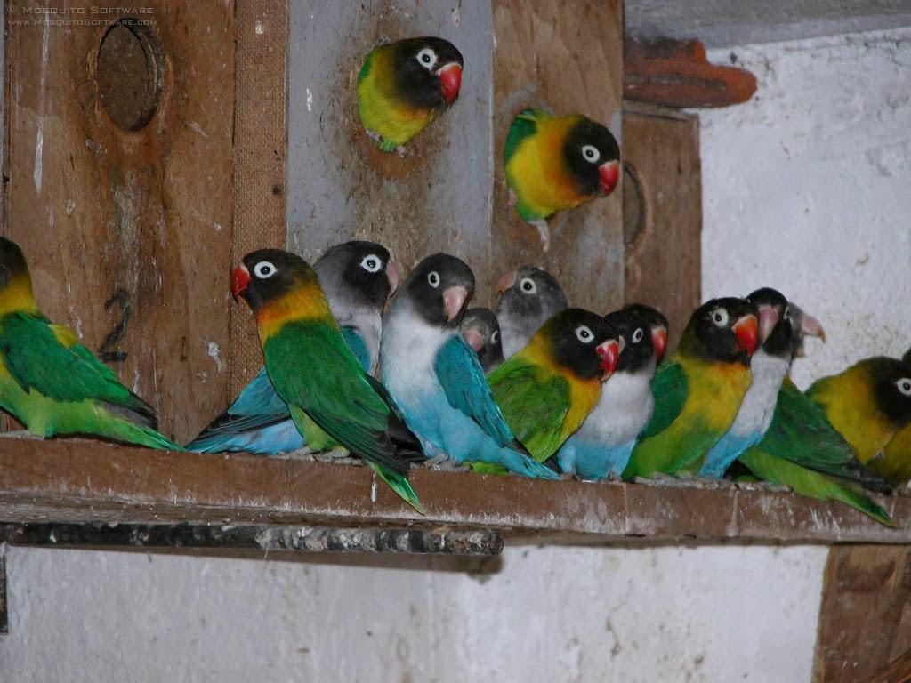 cara memelihara burung hias seperti love bird parkit