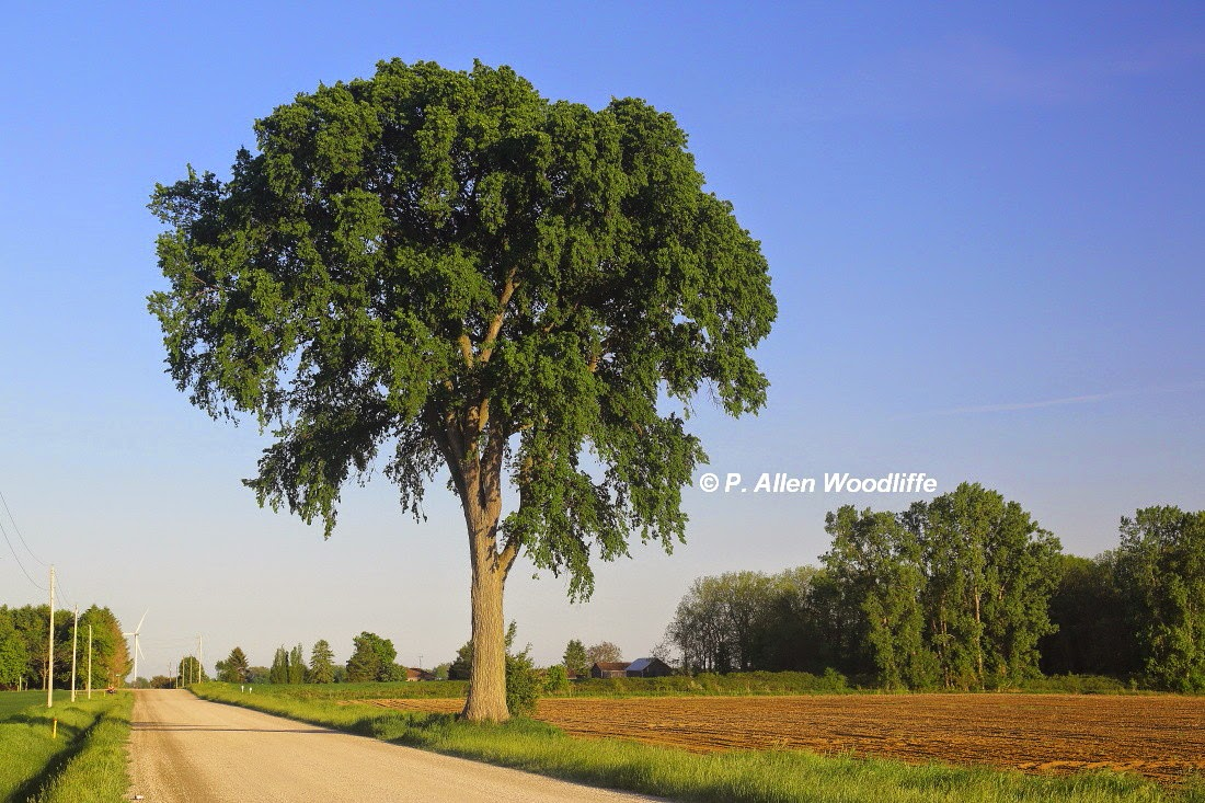 Nature nuggets are trees lonely for American elm