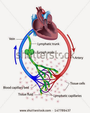 Human Body Flow Diagram Mania Relationship Between Lymphatic And