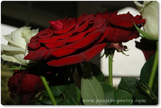 Red Rose Day 2012