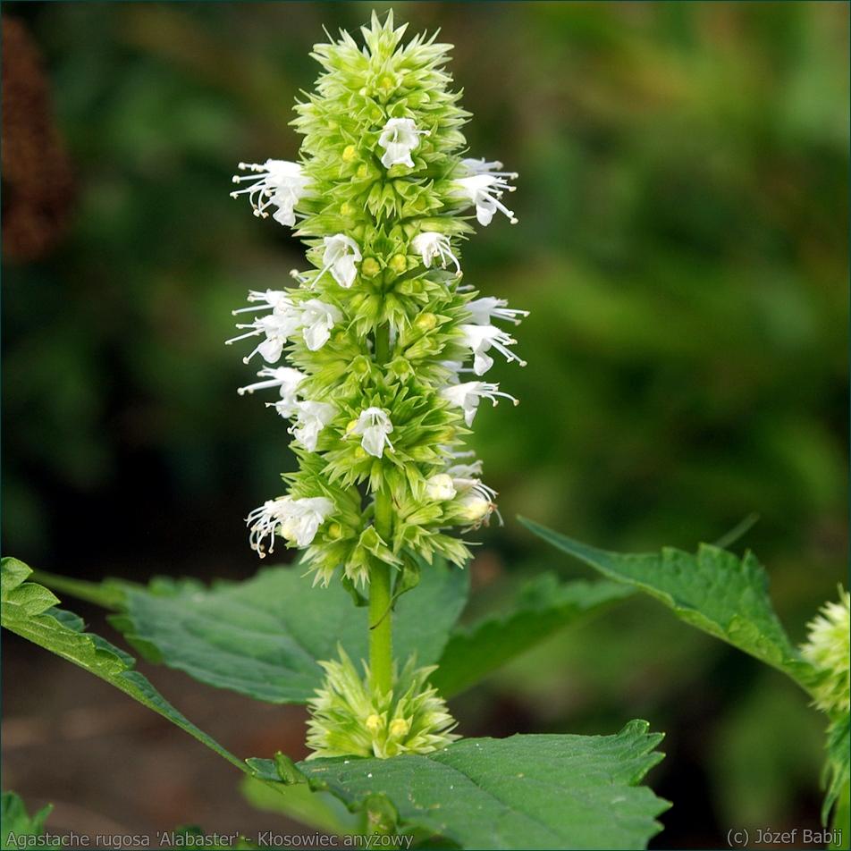 Agastache rugosa 'Alabaster' - Kłosowiec anyżowy, kłosowiec pomarszczony kwiatostan