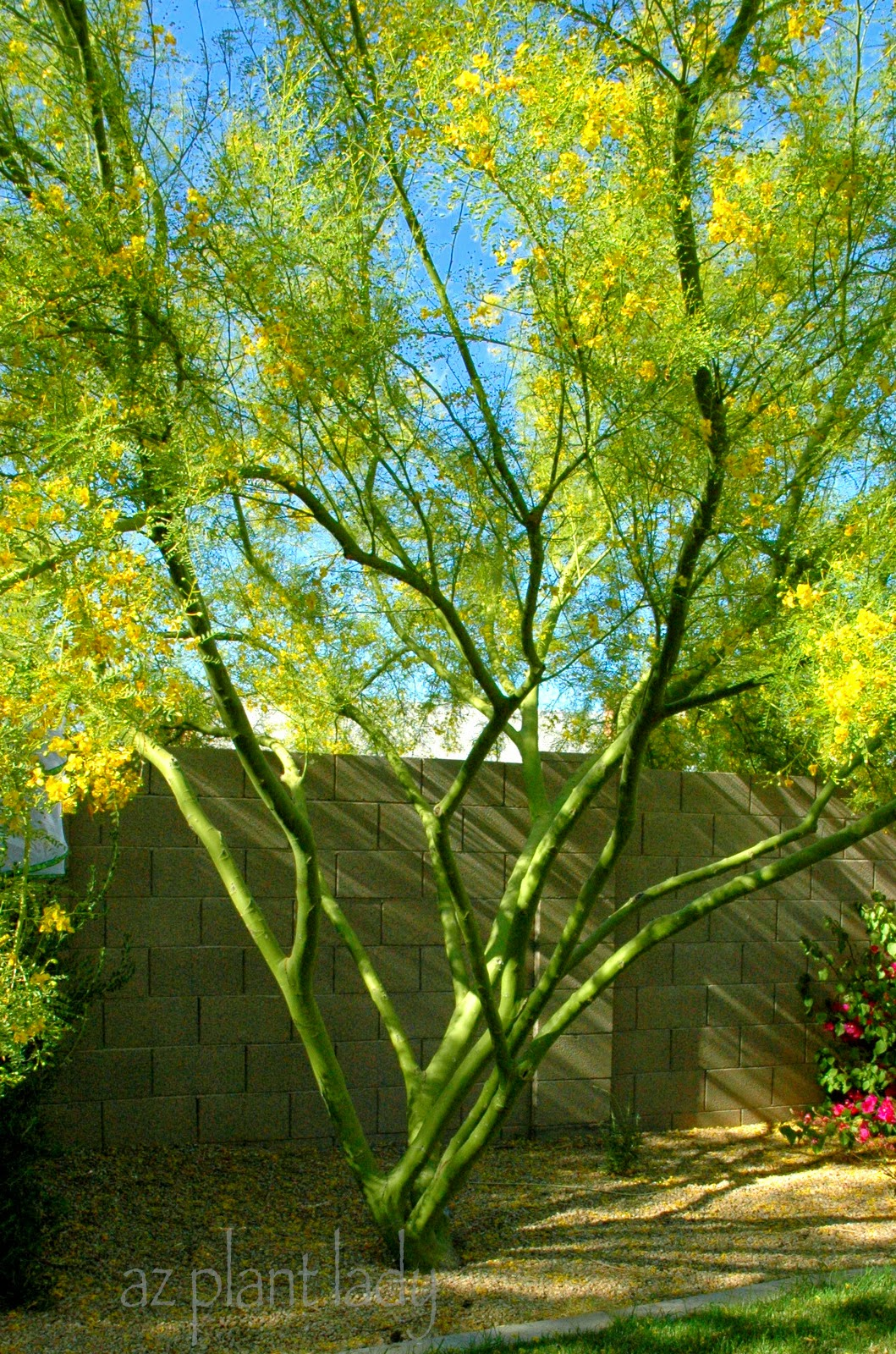 a palo verde tree that rises above the rest ramblings from a