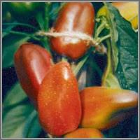 Сладкий перец сорт «Карлик»