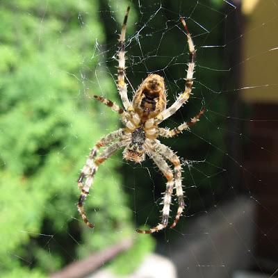 gambar laba-laba, spider wallpaper