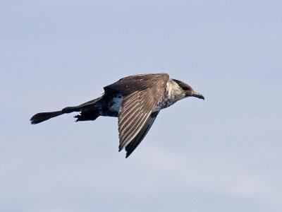 Oregon sea bird: Pomarine Jaeger
