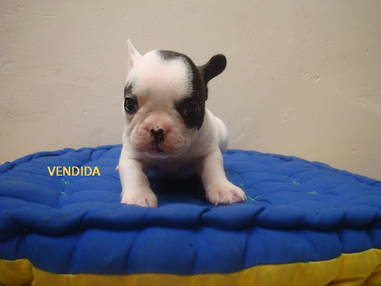 EN VENTA CACHORRITOS(AS) BULLDOF FRANCES $ 900 MIL