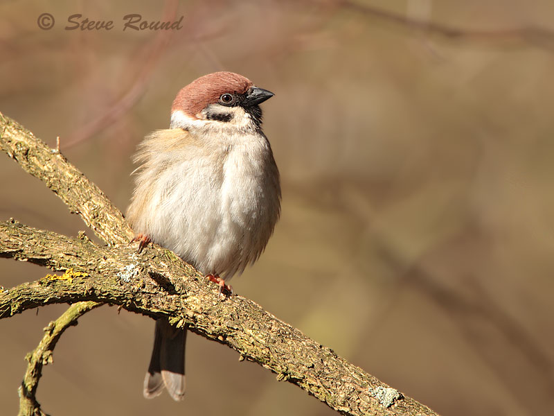 Tree Sparrow, bird, nature, wildlife