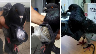 http://news.sky.com/story/1535734/pigeon-caught-flying-drugs-into-prison