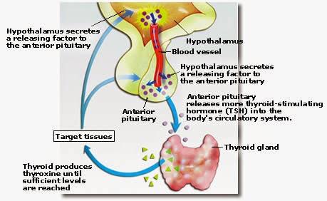 Thyroxine tsh