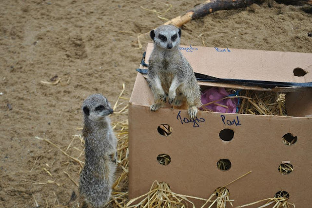 Tayto Park meerkats