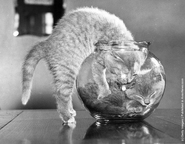 Британский голубой котенок пытается присоединиться к своей сестре в аквариуме. (12 июля 1957 г.)