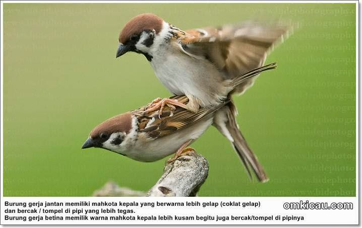 Foto Burung Gereja Terbaik