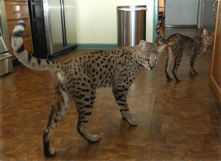 Savannah Cats Wallpapers