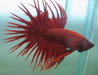 Crown Betta Fish