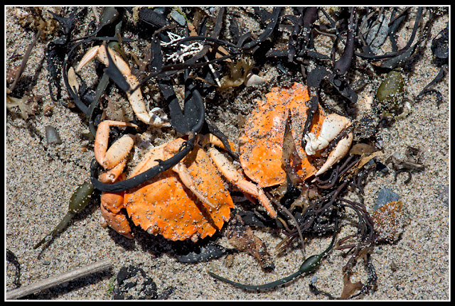 Nova Scotia, Gaff Point; Crabs; Hirtle's Beach