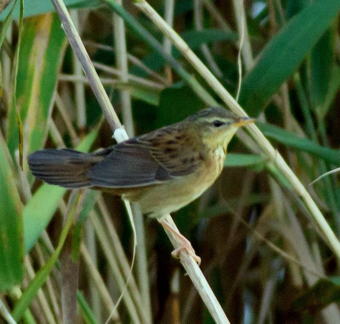 PALLAS'S GRASSHOPPER WARBLER-BURNHAM OVERY STAITHE-NORFOLK-19th SEPTEMBER 2017